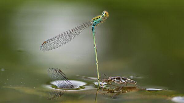 Работа Mating Underwater фотографа из Индии Ripan Biswas, занявшая 1-е место в категории Бабочки и стрекозы в фотоконкурсе Close-up Photographer of the Year 2021