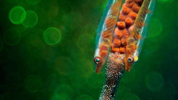 Работа Gobys with Eggs фотографа из Германии Enrico Somogyi, занявшая 3-е место в категории Подводный мир в фотоконкурсе Close-up Photographer of the Year 2021
