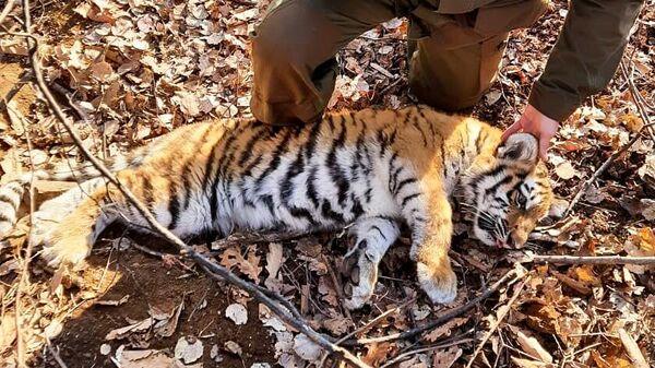 Спасенный в Приморье амурский тигренок