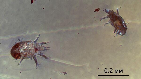Ископаемые клещи Levantoglyphus sidorchukae (расселительные стадии), сохранившиеся в куске янтаря 129 миллионов лет назад