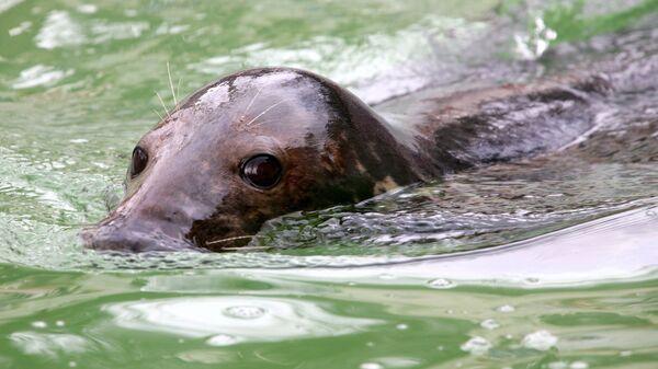 Горбоносый серый тюлень во время праздника День балтийского тюленя в зоопарке гарода Калининграда. Архивное фото