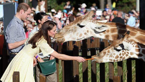 Принц Уильям и Кэтрин, Герцогиня Кембриджская, кормят жирафов в зоопарке Сиднея, Австралия