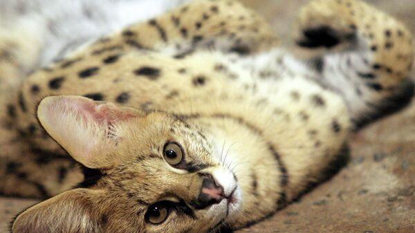Кошка породы сервал