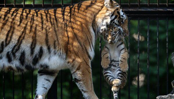 Амурская тигрица с детенышем, архивное фото