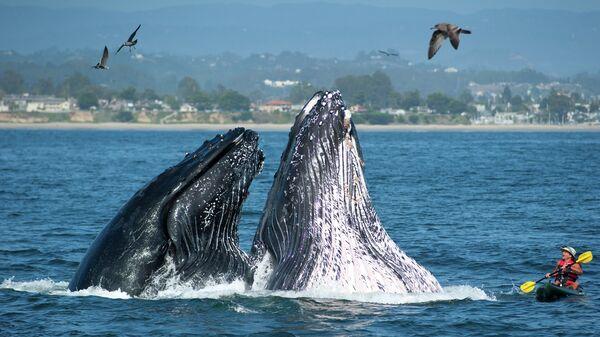 Два горбатых кита неожиданно вынырнули возле каяка