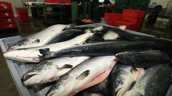 Охлажденный лосось в производственном цехе рыбоперерабатывающего предприятия. Архивное фото