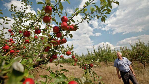 Молдавский фермер в яблоневом саду, Архивное фото