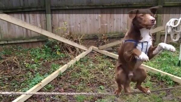 Вот так номер: пес балансирует на канате