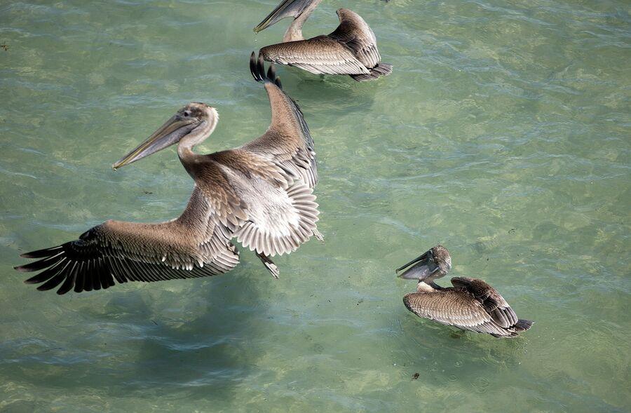 Стая пеликанов