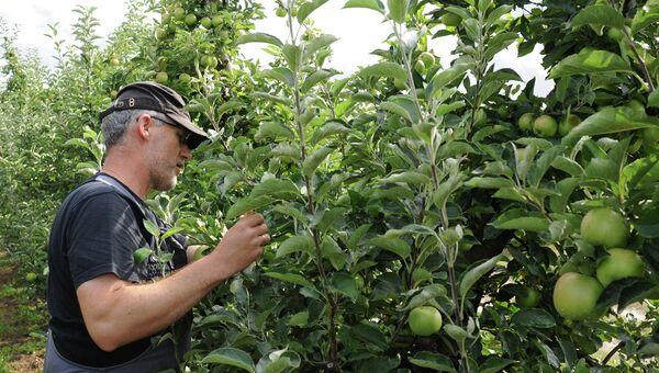 Фермер проверяет свои яблони, Польша