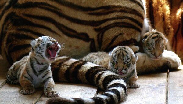 Амурские тигрята с мамой. Архивное фото
