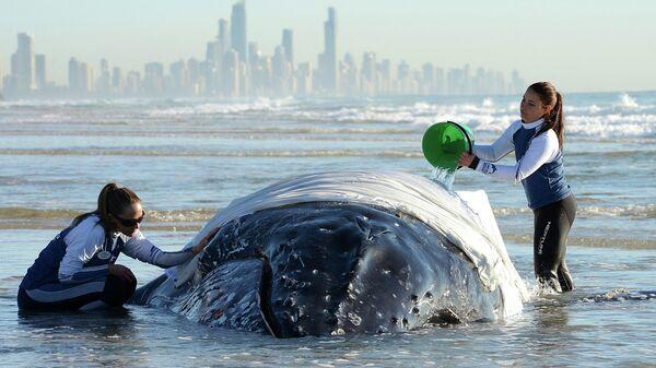Сотрудники Sea World ухаживают за детенышем гоорбатого кита, выбросившегося на берег в Палм Бич, США