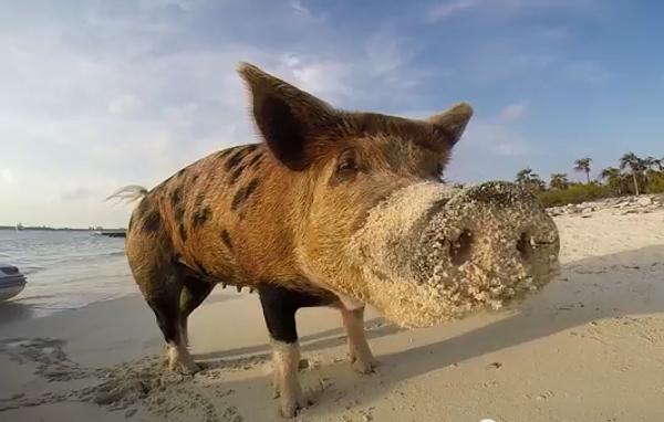 Свинья на Багамах, или Что нужно свиньям для счастья
