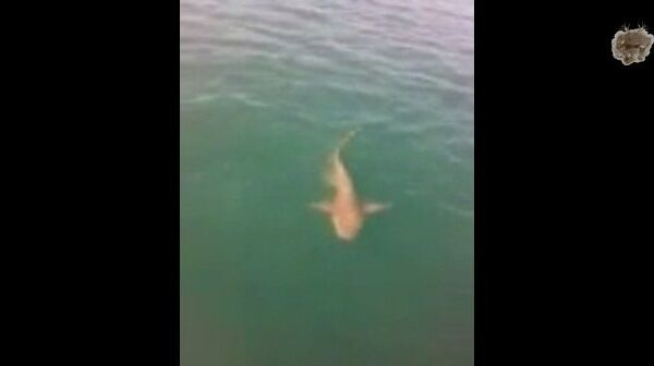 Оседлать тигровую акулу