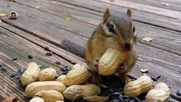Бурундук и арахис
