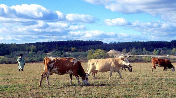 Выпас коров в Смоленской области. Архивное фото