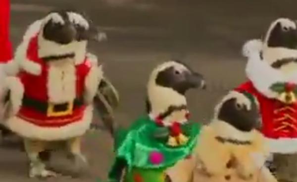 Пингвины в роли Санта Клаусов