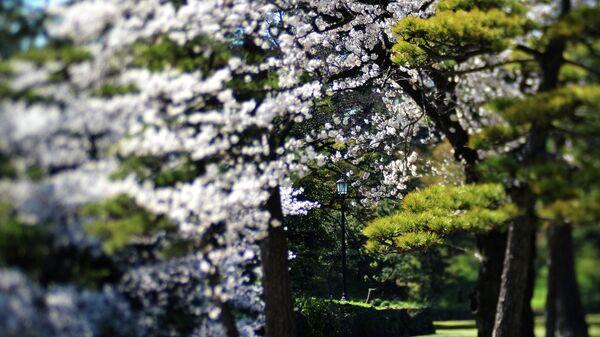 Цветение сакуры в императорском парке в Токио