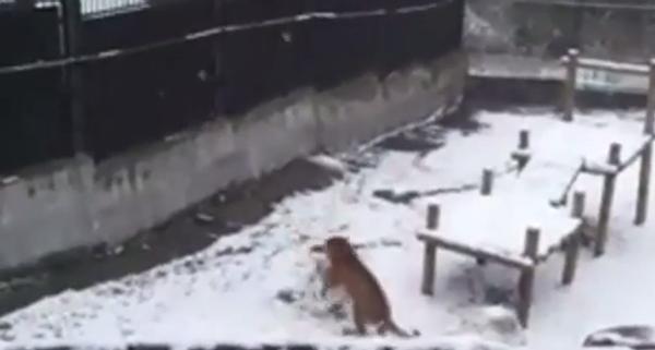 Тигрица пытается слепить снеговика