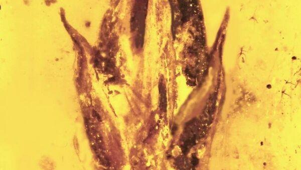 Фрагмент янтаря, в котором ученые обнаружили споры и фрагменты спорыньи