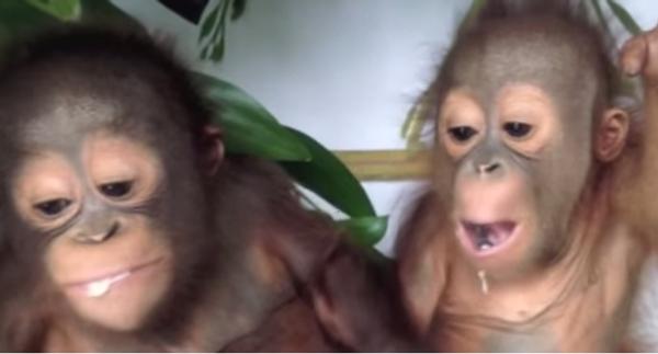 Деликатес для обезьянок