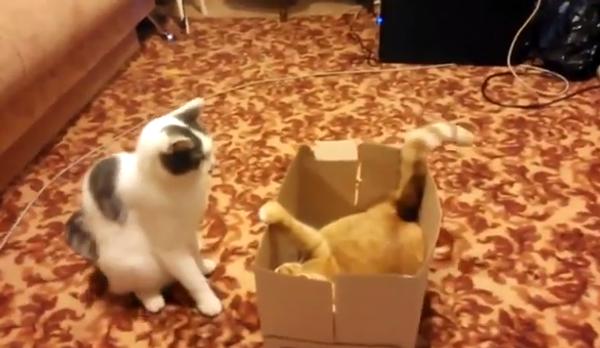 Битва за коробку, или Как квартирный вопрос испортил котов