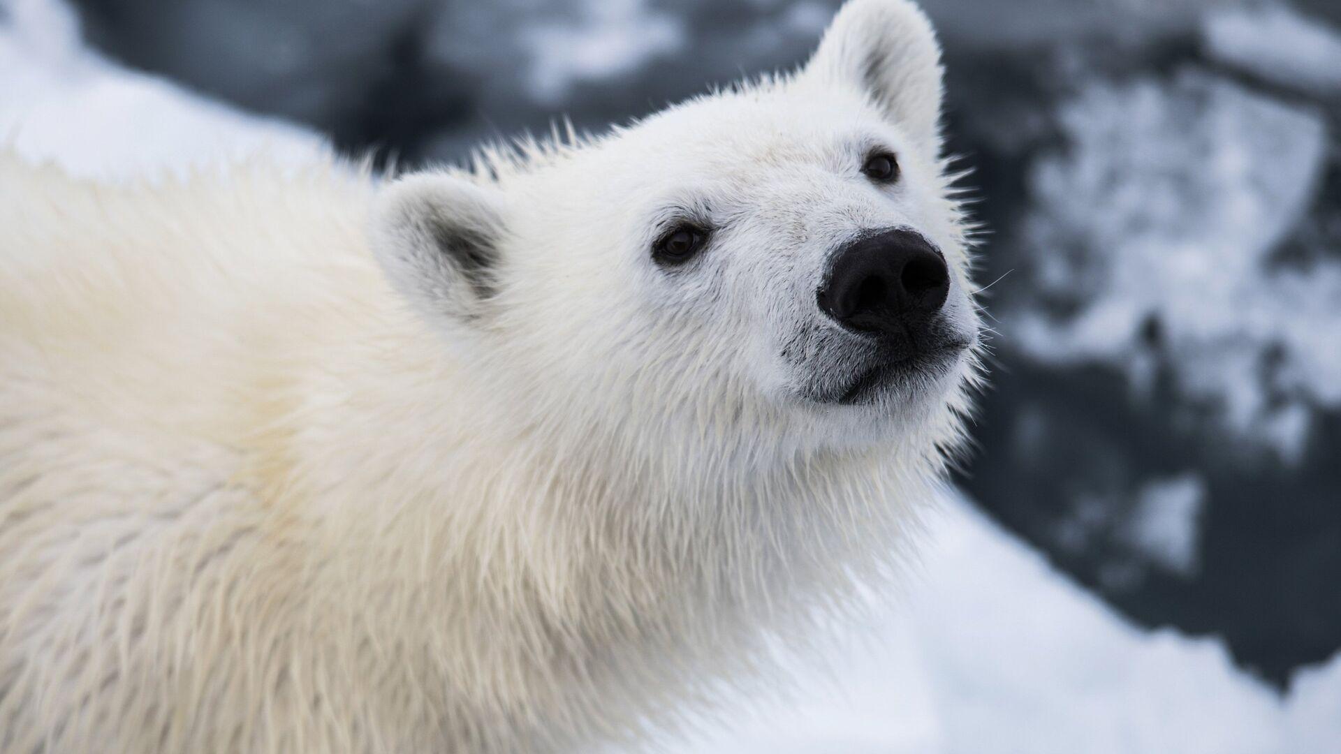 Белый медвежонок в районе архипелага Земля Франца Иосифа в Баренцевом море - РИА Новости, 1920, 29.09.2021