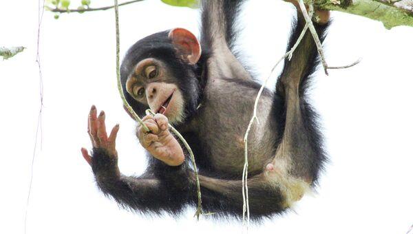 Молодой шимпанзе играет с веточками и будущими орудиями труда