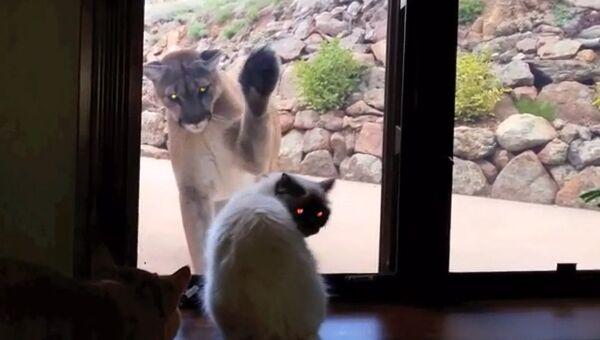 Котик и пума