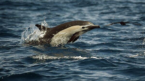 Дельфин у побережья Лос-Анджелеса, штат Калифорния