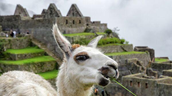 Лама в древнем городе Мачу-Пикчу, Перу