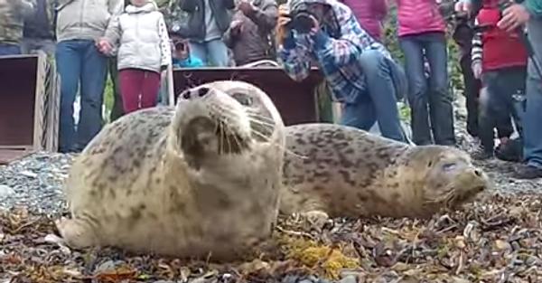 Как тюлени покидают отчий дом