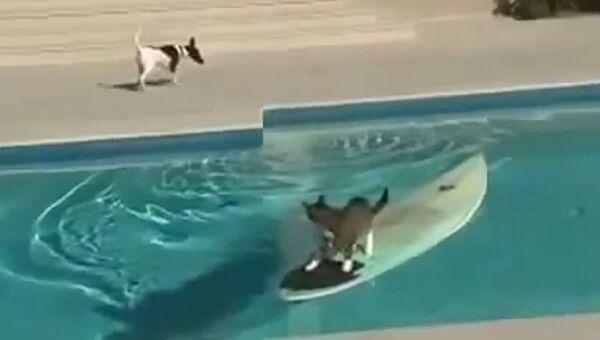 Кот встает на серф