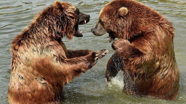 Бурые медведи в зоопарке в Гельзенкирхене, Германия