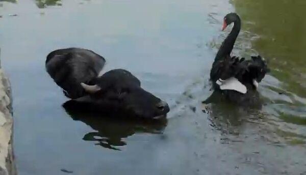 Черные лебеди и буйвол