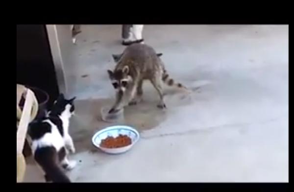 Енот безжалостно отнимает у кошек еду