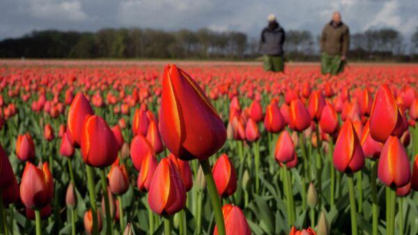 Голландские фермеры на цветочном поле