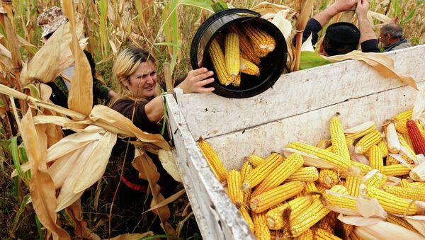 Жители Кахетии собирают урожай кукурузы. Архивное фото
