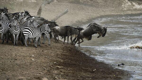 Гну и зебры пересекают реку в заповеднике Масаи Мара. Архивное фото