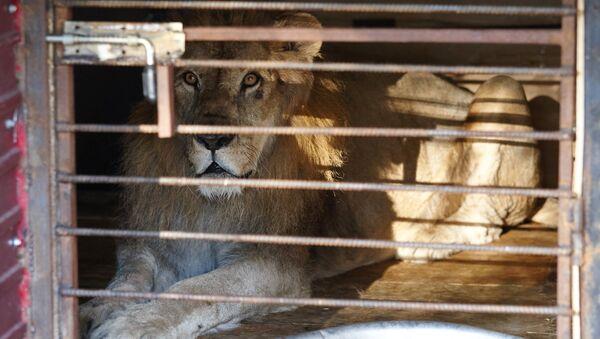 Спасенный во время наводнения из зоопарка лев в импровизированном центре передержки в Уссурийске, архивное фото