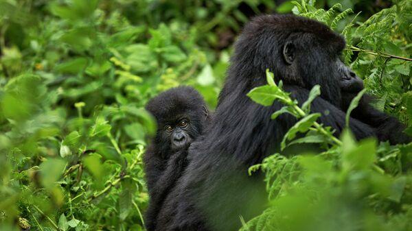 Самка горной гориллы в национальном парке вулканов на севере Руанды