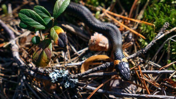 Уж - представитель фауны Государственного природного комплексного заказника Березовые острова