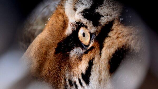 Спасенного амурского тигра доставили в сафари-парк