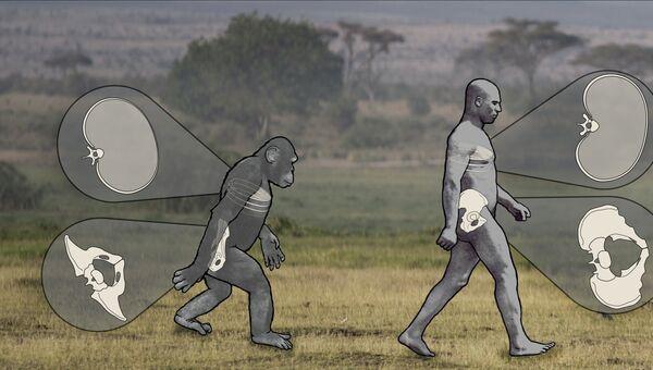 Шимпанзе оказались обладателями походки, близкой к тому, как двигается человек
