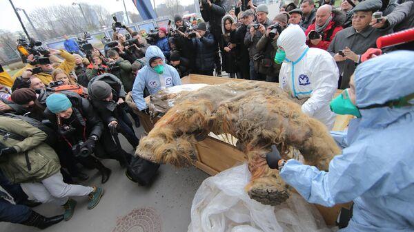 Выгрузка якутского мамонтенка Юки возле здания Центрального Дома Художника в Москве