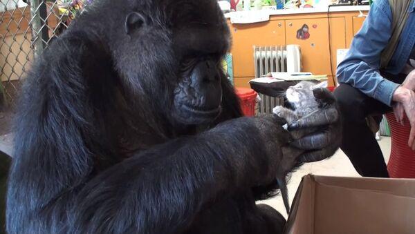 Маленький подарок для большой гориллы