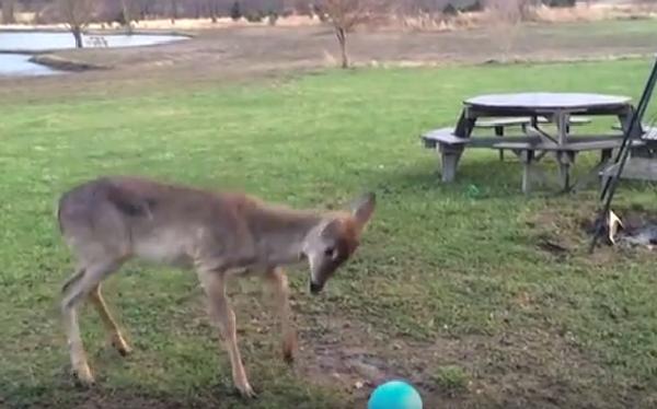 Олень пытается понять, что делать с мячом