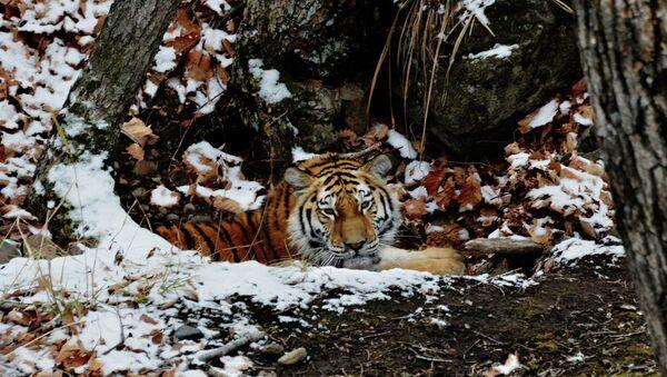 Молодая амурская тигрица. Архивное фото