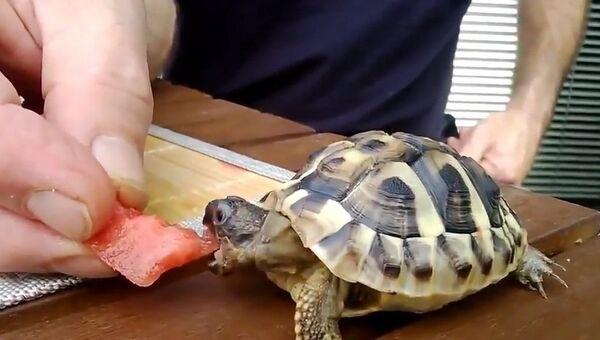 Черепаха утоляет жажду арбузом