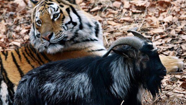 Уссурийский тигр Амур и козел Тимур. Архивное фото